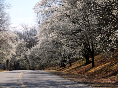 Bradford Pear Trees on Heritage Blvd.